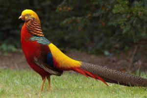 Гибридный фазан