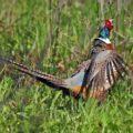 Особенности разведения краснодарского фазана
