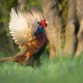 Чем питается фазан из Индонезии?