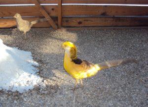 Лимонный фазан
