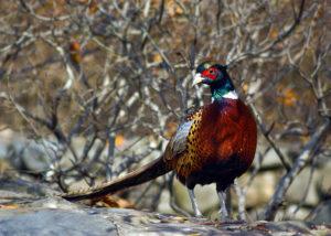 Краснодарский фазан