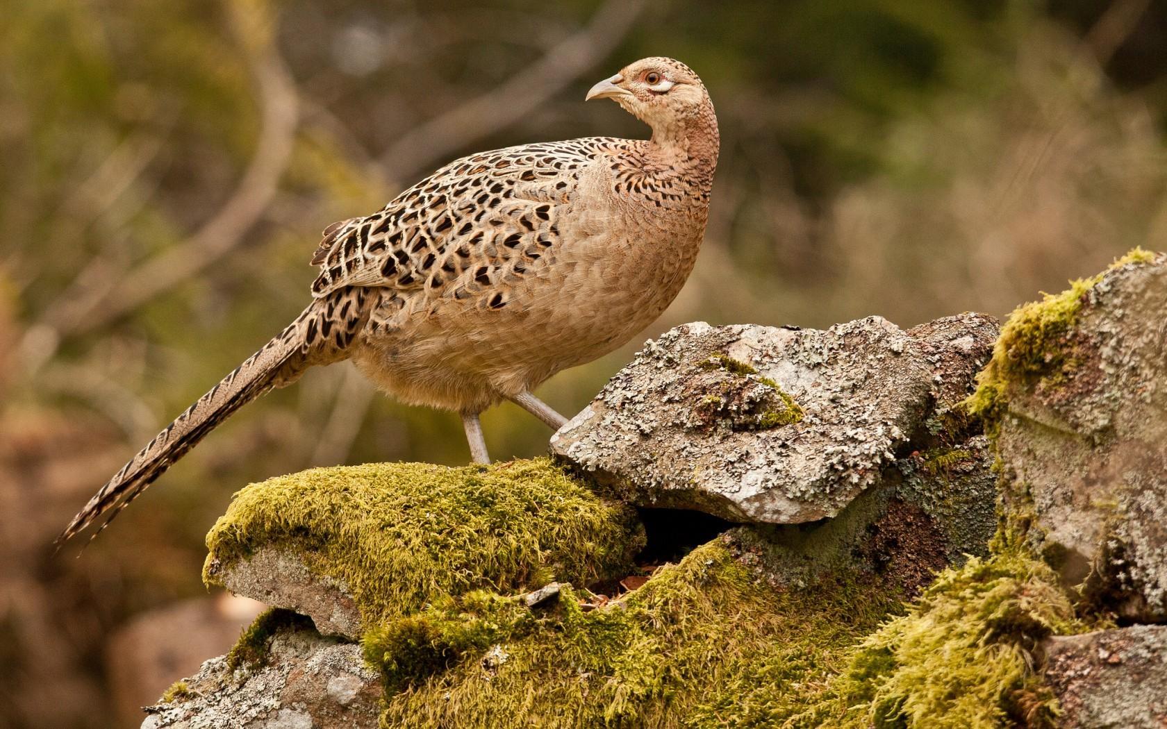 понимаем, что фазан фото птицы самка поэтому наш