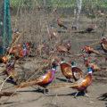 Как организовать фазанью ферму?