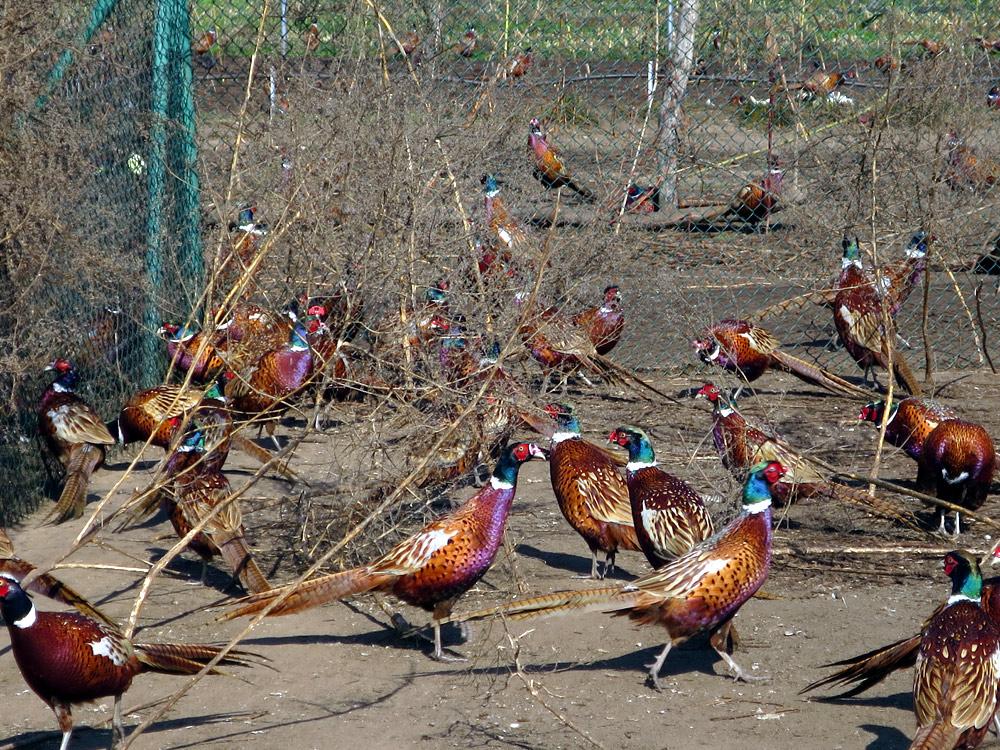 Бизнес план ферма по выращиванию фазанов