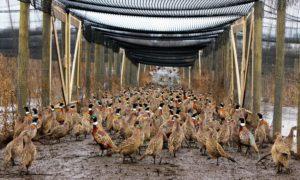 Выращивание фазанов на мясо
