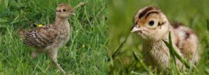 Гнездо для фазанов своими руками