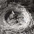 Как сделать гнездо для фазанов своими руками?