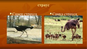 Как отличить страуса самца от самки?