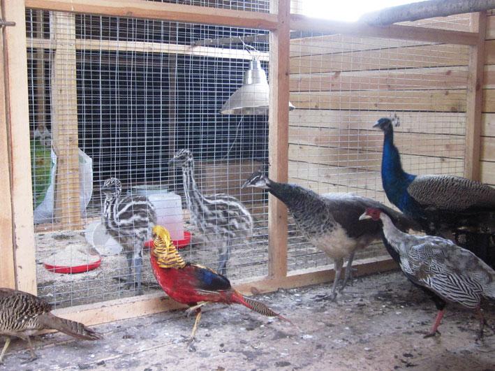 проекты домов клетка для фазанов своими руками фото считаю, что спорт