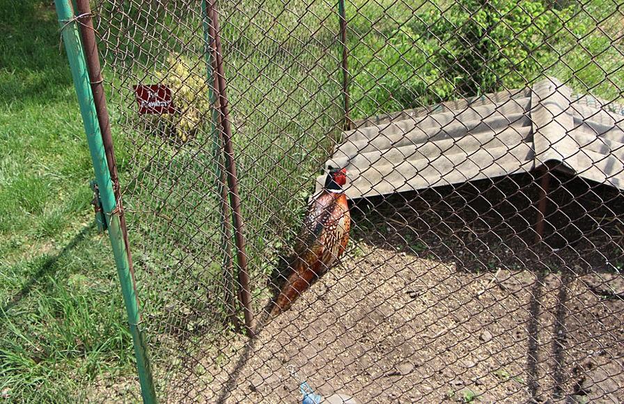 Домик для фазанов: как выбрать размер и сделать своими руками
