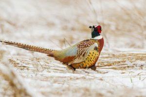 Маньчжурский фазан