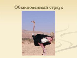 Обыкновенный страус
