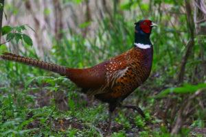Обыкновенный фазан