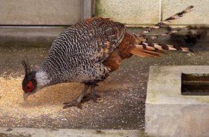 Расчет корма для фазанов