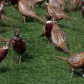 Выгодно ли выращивание фазанов на мясо?
