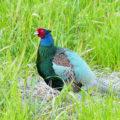 Как ухаживать за зелёным фазаном?