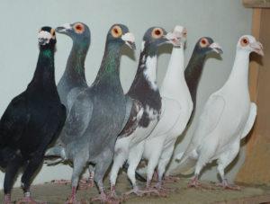 Спортивные голуби
