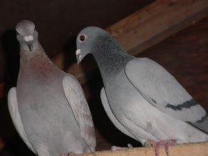 Оспа у голубей. Как лечить?