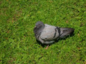 Болезни голубей