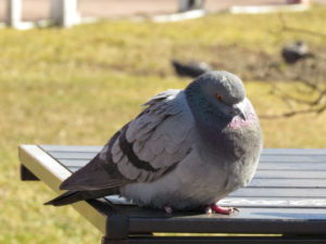 Большой голубь
