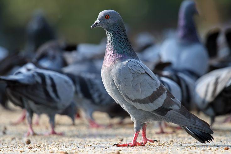 Как поймать голубя правильно