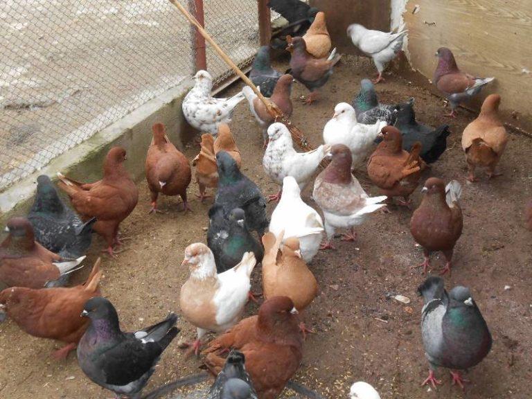 мясные голуби фото уникальный