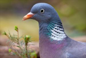 Дикий голубь вяхирь