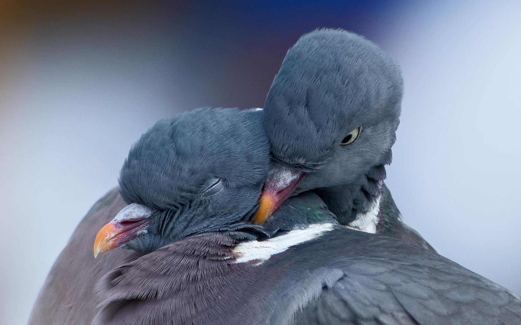 Влюбленный голубь картинки