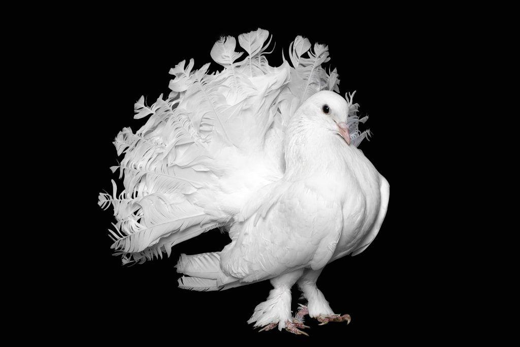 Пестрые голуби павлины: описание породы, особенности разведения и спаривания
