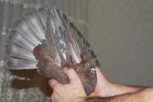 Торцовые голуби