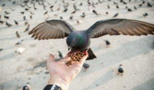 Как поймать голубя?