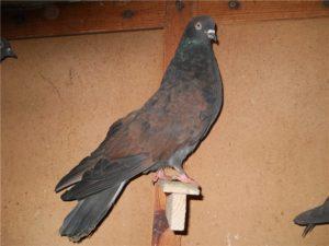 Кировоградские голуби