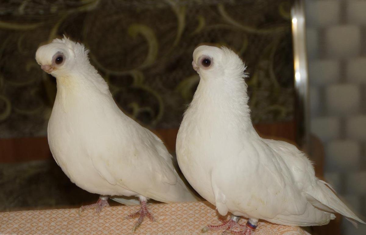статные короткоклювые голуби турманы вертуны фото церемонии видеосвязи участие