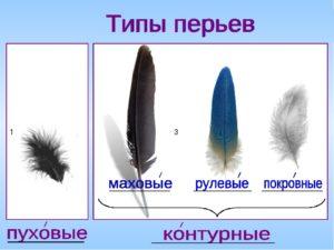 Перо голубя