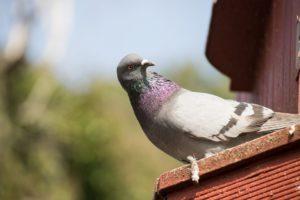Птицы голуби