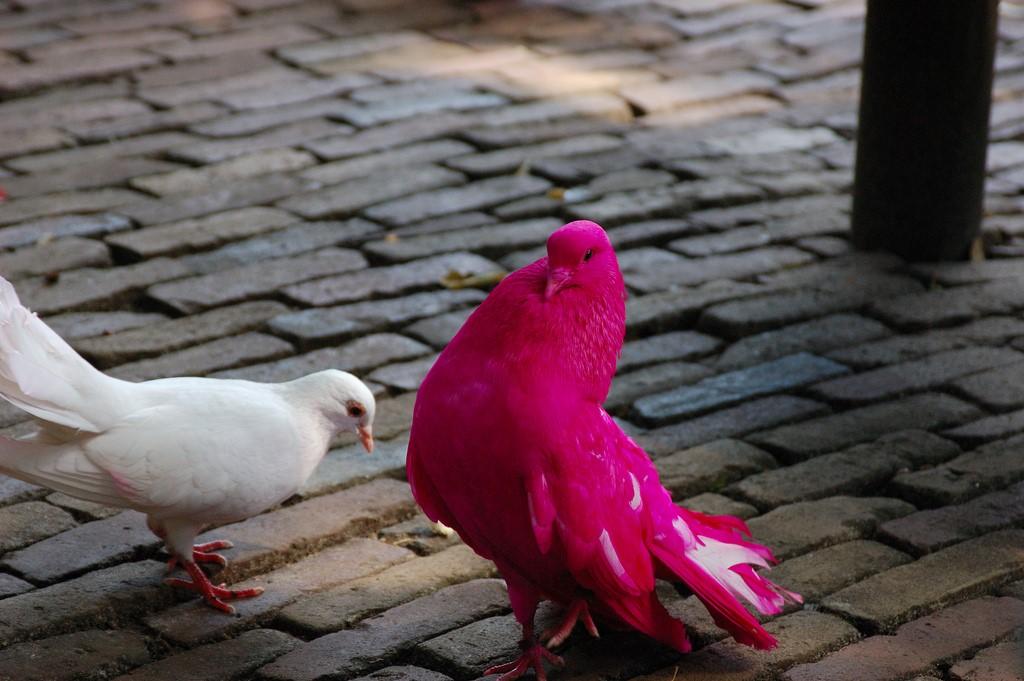Существуют ли розовые голуби