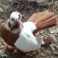 Какую внешность имеют статные голуби?