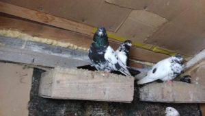 Свердловские голуби