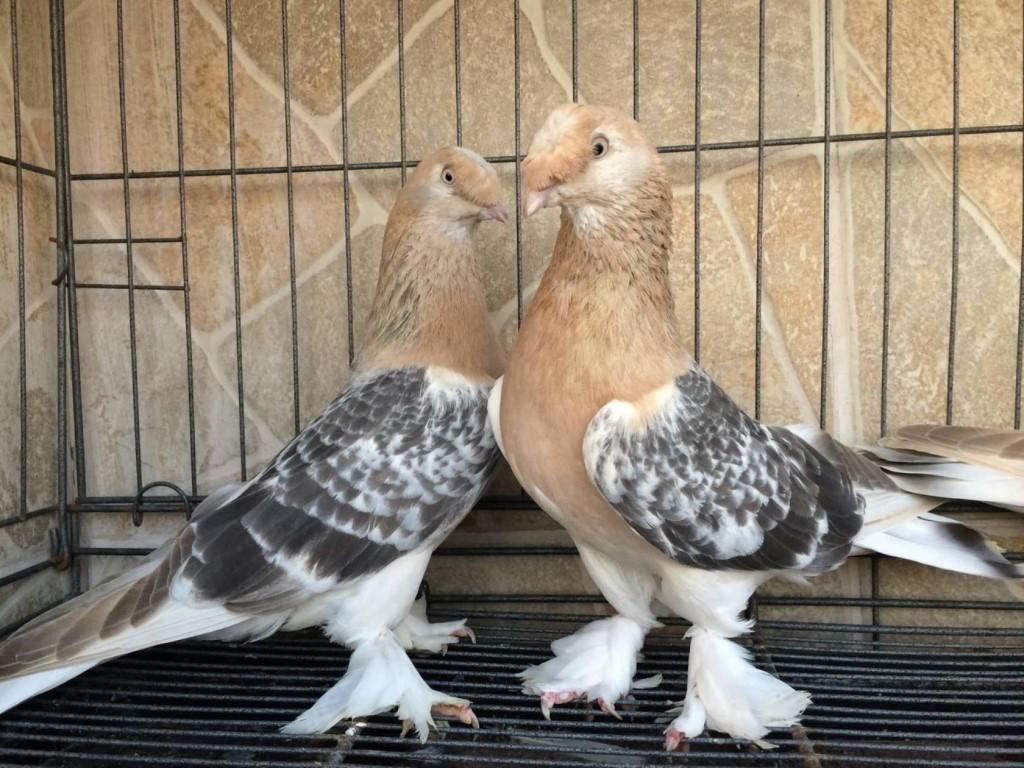 Турецкие голуби Такла: фото, описание породы