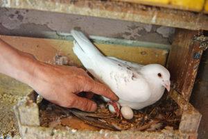 Яйца голубей