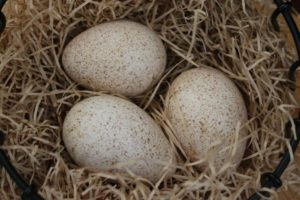 Несут ли яйца индюки?
