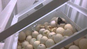 Инкубация яиц индейки