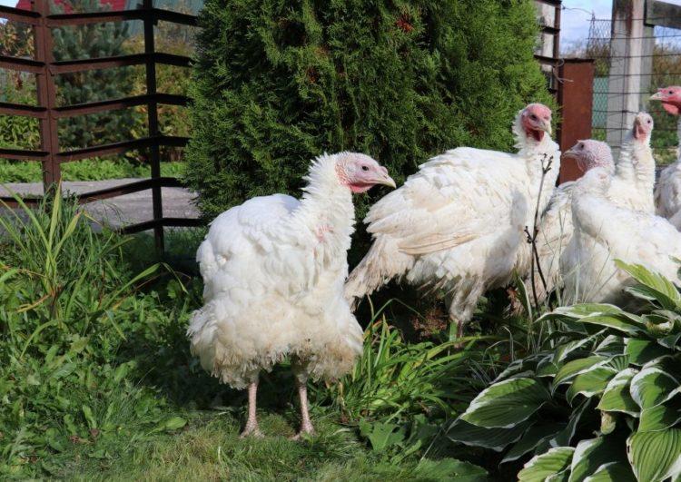 Гибрид курицы и индюка