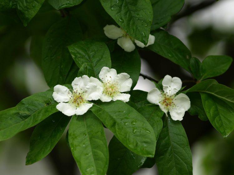 Как цветет мушмула?