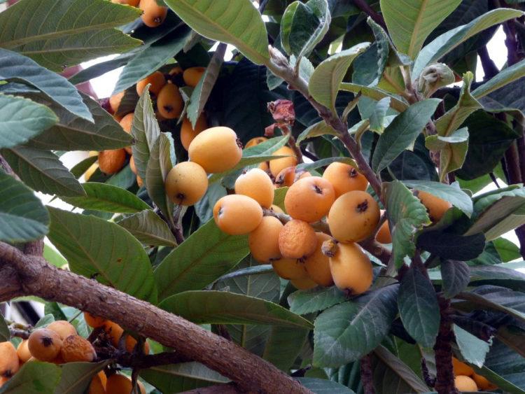Испанский фрукт мушмула