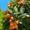 Как растёт абхазская мушмула?