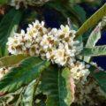 Как цветёт мушмула?