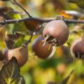 Особенности выращивания мушмулы в Подмосковье