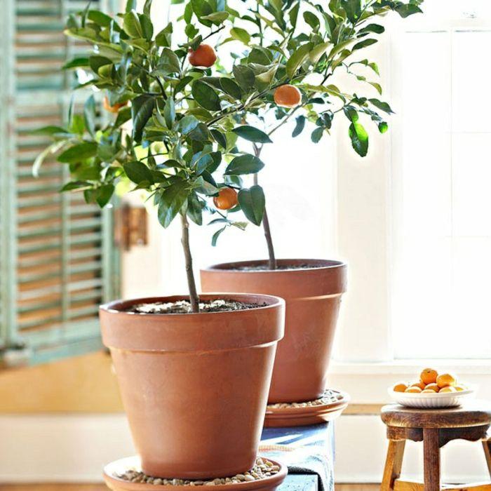Мушмула из семян в домашних условиях