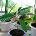 Как вырастить мушмулу из семян в домашних условиях?